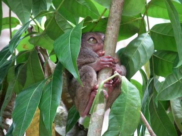 Tarsier, world's smallest mammal