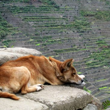 Dog sleeping in Batad Rice Terraces