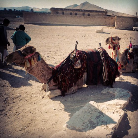 Camels resting in Palmyra